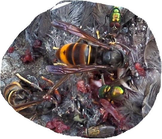Le vespa velutina aime les protéines animales