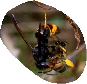 le frelon asiatique est un prédateur d'abeilles