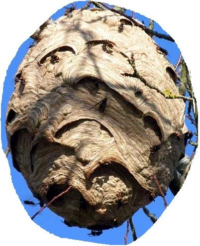 nid secondaire de frelons asiatiques dans un arbre