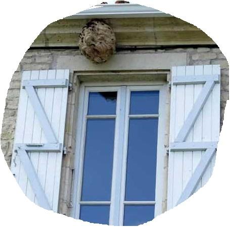 nid de frelons asiatiques sous un toit