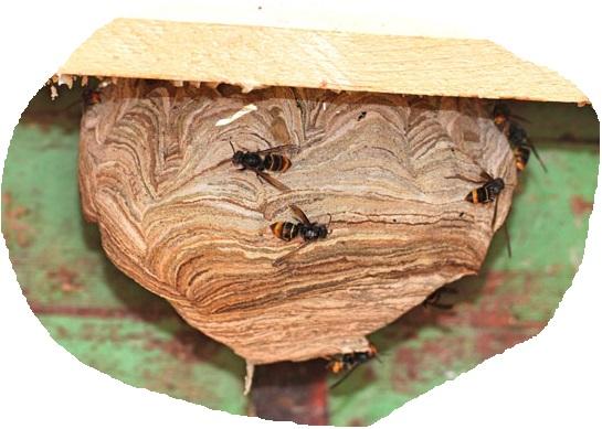 nid de frelon dans cabane à oiseaux