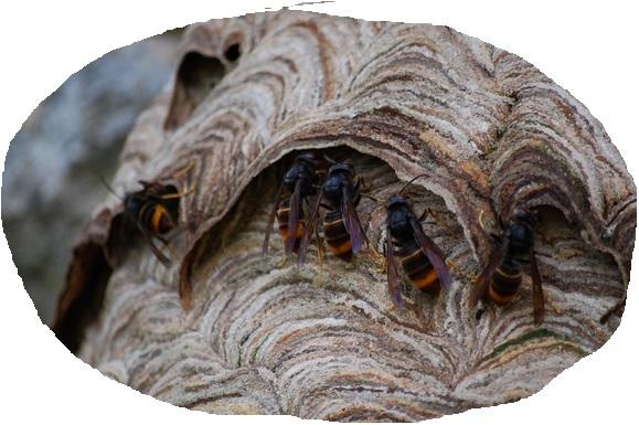 les entrées du nid de frelons asiatiques