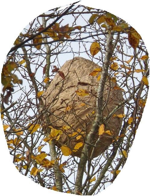 nid de frelons asiatiques caché dans un arbre