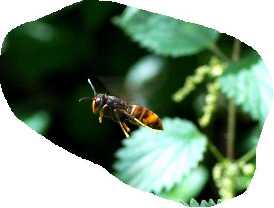 Frelon asiatique, vol stationnaire devant une ruche