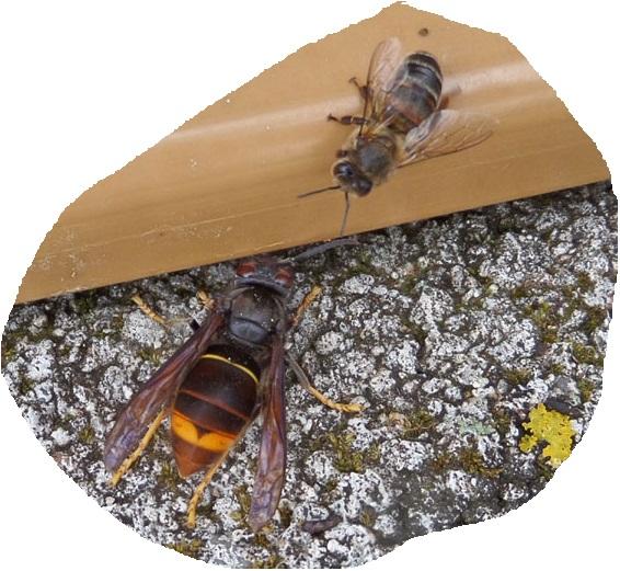 frelon asiatique devant une ruche