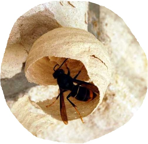 nid primaire de frelons asiatiques