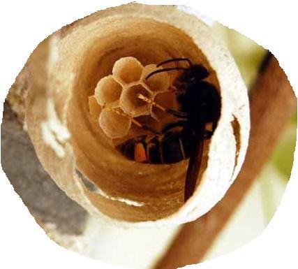 La reine frelon asiatique fabrique son nid primaire